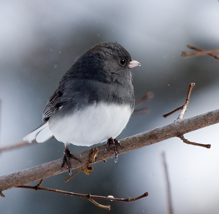 Northern Junco || Canon350d/EF100-400F4-5.6L@365 | 1/1250s | f6.3 |  IS800 | handheld