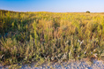 prairie_grasses_and_flowers.html