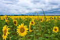 sunflowers_and_clouds.html