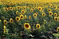 speaking_of_sunflowers.html
