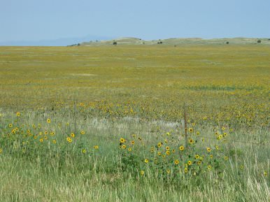 Colorado Sunflowers, July 2003