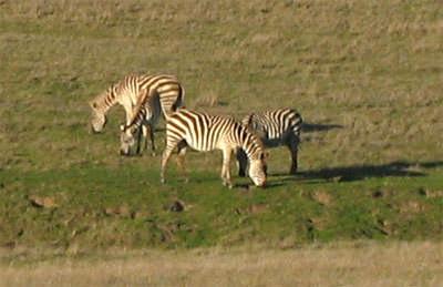 Zebras near Hearst Castle