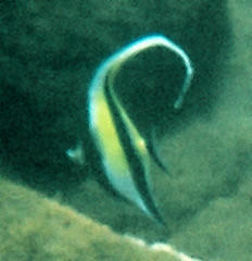 not a moorish idol