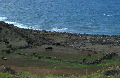 cows grazing near the ocean