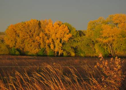 golden trees in the fall