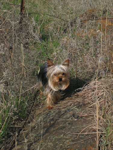 Sparkle, our Yorkie, out geocaching