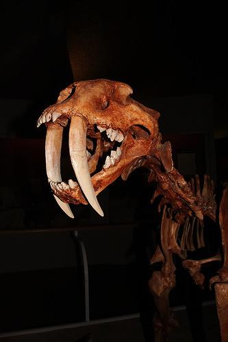 sabre-tooth wildcat