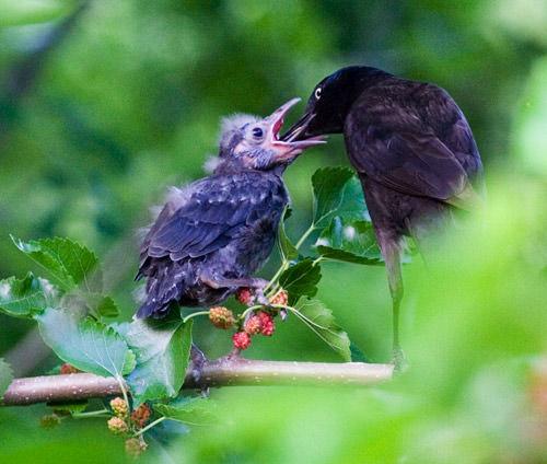 baby bird feeding