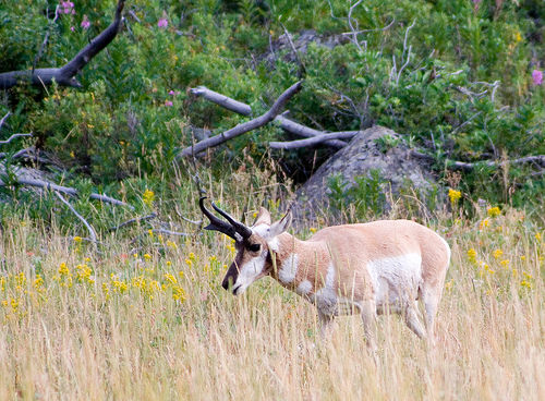 Yellowstone pronghorn deer