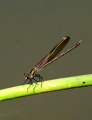 Kanopolis dragonfly