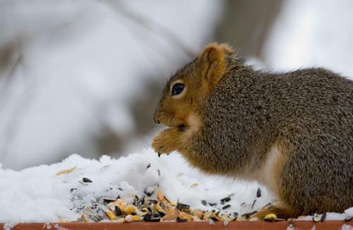 winter snow: squirrel