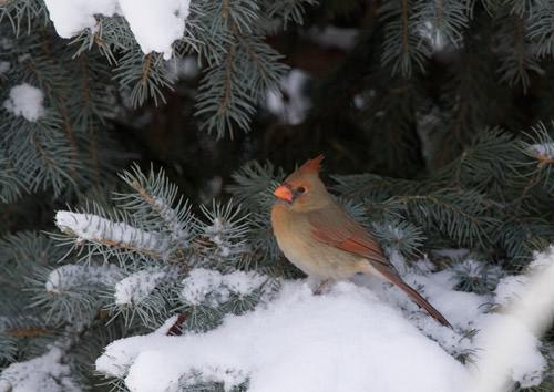winter snow: cardinal