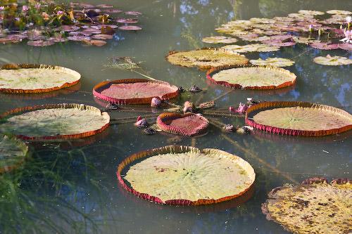 lily ponds