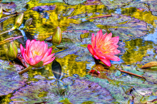 water lily, HDR