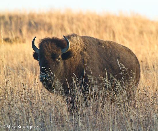 Maxwell Dec 2010: bison